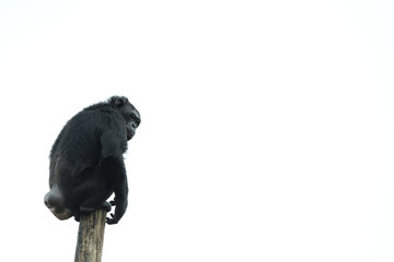 Isolated Ape chimpanzee monkey on white
