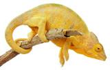 Fotoroleta caméléon sur fond blanc