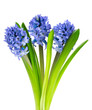 blue hyacinth isolated on white