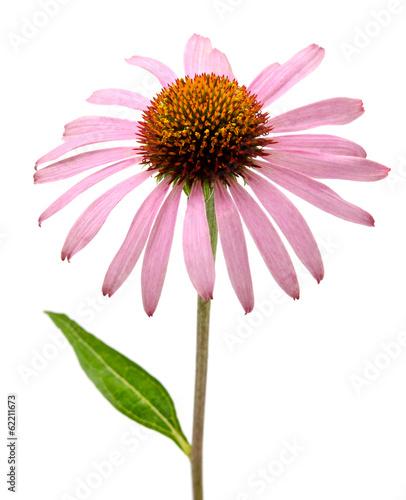 Pink Echinacea purpurea flowers