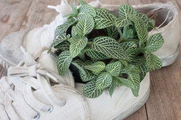 Fittonia and old shoes