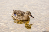 One Wild Duck Swimming in the Lake