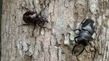 Stag Beetles,Males on a Tree