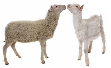 lamb and kid isolated on white background