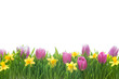 Narcissus and tulips flowers in green grass