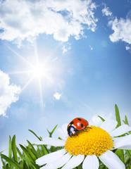 chamomile and ladybug