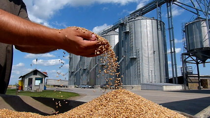 Wheat grain of successful farmer, two video clips