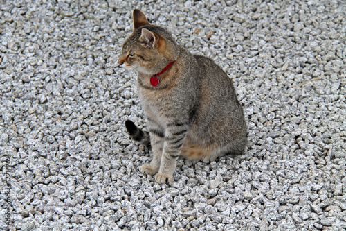A Cute Tabby Cat Sitting on a Bed of Pebbles.