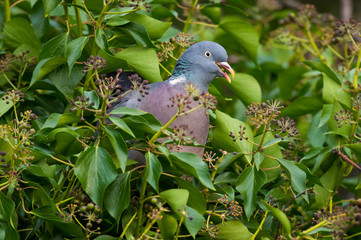 Wood Pigeon eating Ivy berry