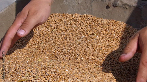 Wheat in a hand, good harvest