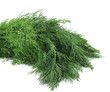 Bunch fresh dill herb.