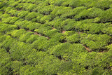 green tea bush background