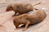 Pair of mongoose