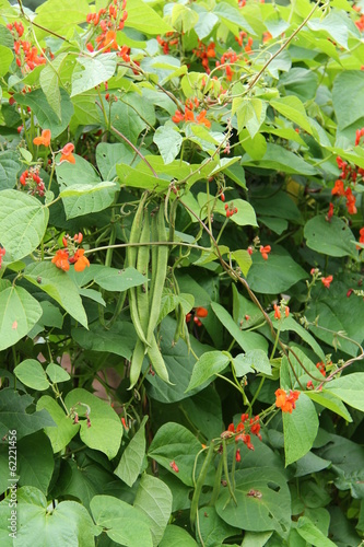 Runner Bean Plants with Pods and Flowers.