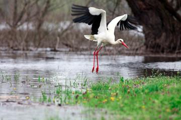 Stork in wildness