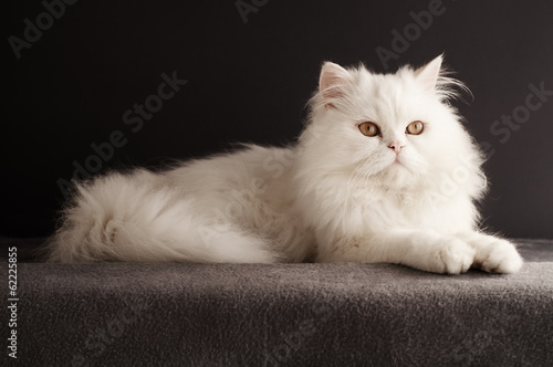White cat relaxing