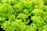 fresh green Lettuce salad