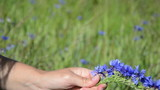 female hands gather bluebottle flowers and make crown wreath