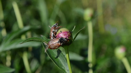 two dor crawls on pink peony bud spread wings trying to fly