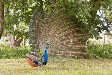 Pfau, peacock