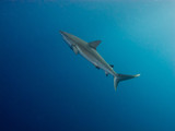 Silky shark (Carcharhinus falciformis) in a blue water
