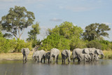 African Elephant (Loxodonta africana) herd drinking at water's e