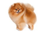 Pomeranian spitz isolated