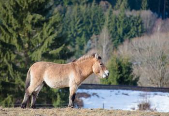 Przewalski-Pferd (Equus ferus przewalskii)