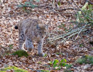 Luchs im Wald ('Lynx lynx)
