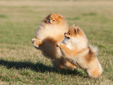 Two Pomeranian playing in the park