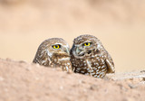 Pair of Burrowing Owls in their Nest Hole