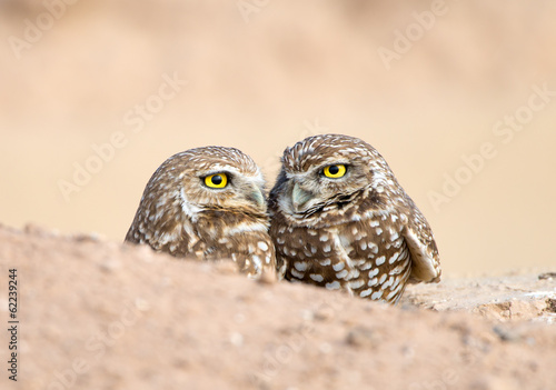 Foto op Plexiglas Uil Pair of Burrowing Owls in their Nest Hole