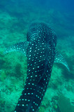 Whale Shark swimming  in crystal clear blue waters at Maldives