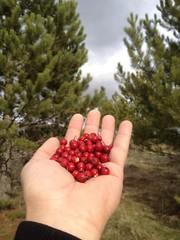 doğal meyve kızılcık