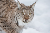 European Lynx in the snow