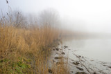 Reed bed along a lake in a foggy winter