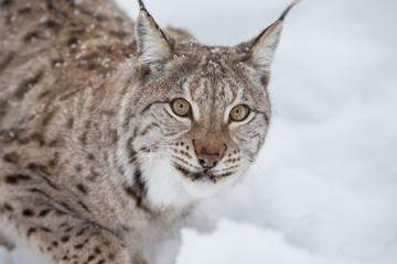 European Lynx in the snow