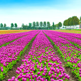 Tulip blosssom flowers cultivation field in spring. Holland or N