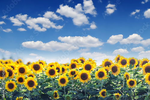 canvas print picture sunflower