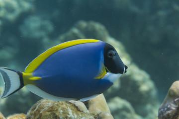 Powder blue tang (Acanthurus leucosternon) in Andaman sea, Thail