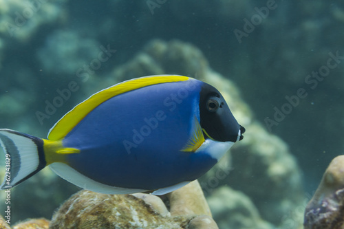 Powder blue tang (Acanthurus leucosternon) in Andaman sea, Thail