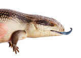 East Coast Blue Tongue Lizard isolated on white