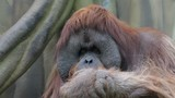Facial gesture and yawning of an orangutan male.DSLR, Canon 5d