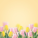 Fresh tulips on yellow background.