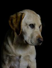 Labrador over black