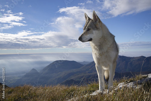 Poster Wolf Gray Wolf Howling
