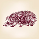 hedgehog  hand drawn vector llustration realistic sketch