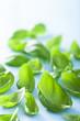 basil leaves over blue background