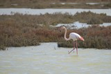 Greater Flamingo (Phoenicopterus roseus), Camargue  - France