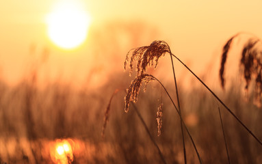 Common reed during sunrise.